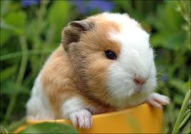 Itchy guinea pig likely has 1 of 3 ailments « Animal Health