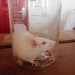 Pengamatan Anastesi tikus perinjeksi