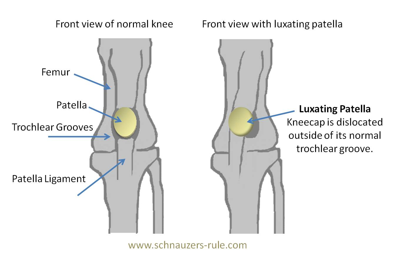 luxating patella a painful but treatable problem animal health